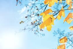 Autumn orange and yellow maple leaves