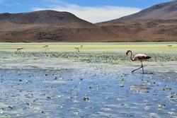 Highland Flamingos in a Laguna, Bolivia, Andes