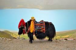 Tibetan Yak in front of lake