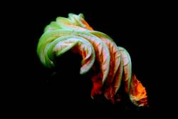 Kürbisblüte 2