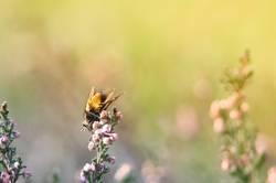 Gelbbauch Fliege