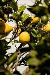 Zitrone an einem Zitronenbaum hängend