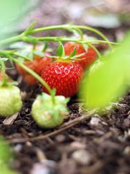 Fruchtreife