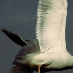 going gull