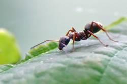 Ameisen-Makroversuch