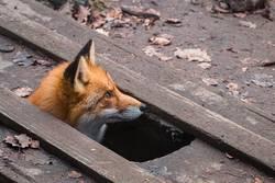 Fuchs schaut aus einem Bodenloch