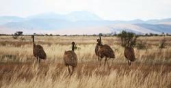 Emus in Australia