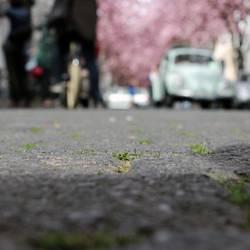 Kirschblüte zu Pflasterstein