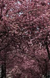 kirsch-blüten-dächer