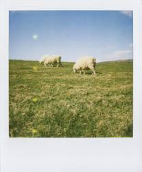 Pola-Schaf