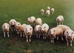 Määäh ihr Schafe