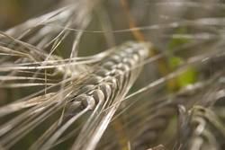 Korn im Feld