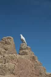 Taube der Kasbah