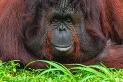 Close Up Aufnahme eines liegenden Orangutans