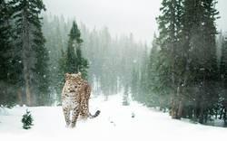 Persischer Leopard im Schnee