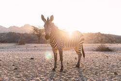 Zebra im Gegenlicht bei Sonnenuntergang