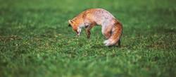 Fuchs und Maus