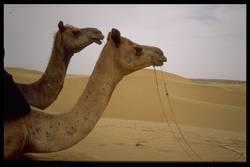 Zwei Kamel