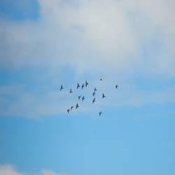 Pidgeon Swarm
