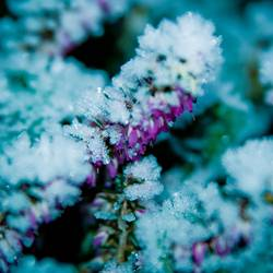 Frozen Heather