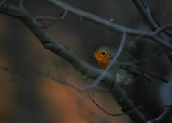 Rotkäppchen der Vögel