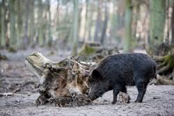 Wildschweinfamilie II