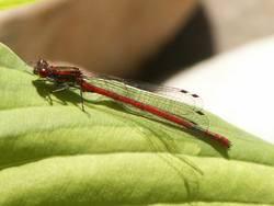 Im Zeichen der Libelle