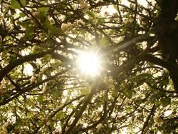 Sonnestrahlen durch einen Apfelbaum