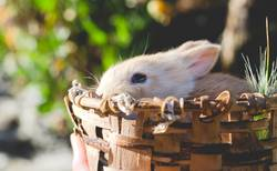 Rabbit in wooden basket