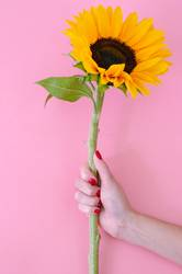 Sunflower flower in woman hand on pink background.