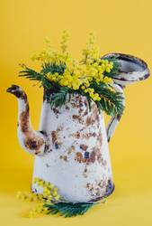 Old coffee pot as a vase with acacia flowers.
