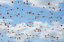 Pink flamingos flying through the skies of Guajira Colombia