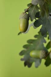 grüne Eicheln 6