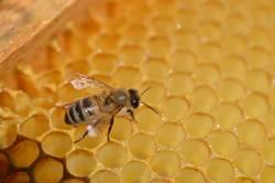 fleissiger Hausbauer eine Buckfast-Honigbiene auf einer Wabe
