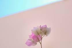 rosa Blume vor rosa Wand