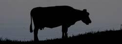 Kuh in der Abenddaemmerung
