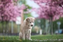 Labrador Retriever & Kirschblüten