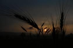 last wheat standing
