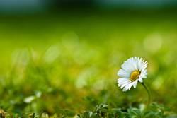 Lonely Gänseblümchen