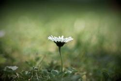 Das letzte Gänseblümchen