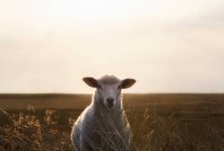 White sheep portrait in high grass on Sylt island at sunrise