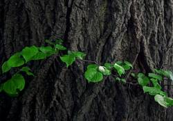 Linden tree bark and green leaves