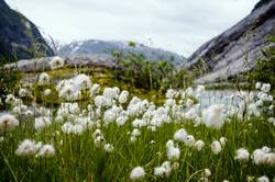 Wollblumen in Nigardsbreen, Norwegen