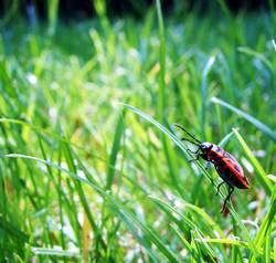 käferhalm