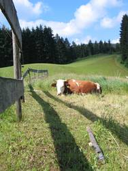 schnurrende Kuh
