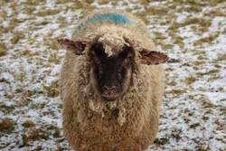 Schaf auf Wiese mit Schnee