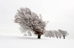 Schneebuchen