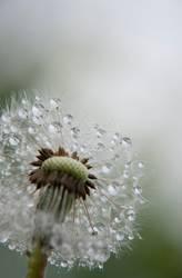 Morgentau - Pusteblume mit Wassertropfen