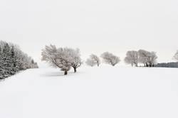 Verschneite Windbuchen auf dem Schauinsland