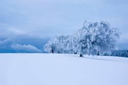Verschneite Buchen, Schauinsland bei Freiburg, Schwarzwald